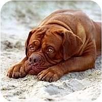 Adopt A Pet :: Diablo - Phoenix, AZ