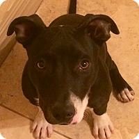 Adopt A Pet :: Dakota - Surprise, AZ