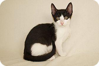 Domestic Shorthair Kitten for adoption in Jackson, Mississippi - Rudy