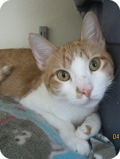 Domestic Shorthair Cat for adoption in Ridgway, Colorado - Peter