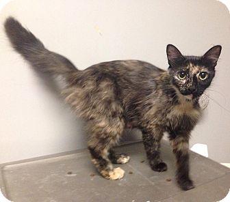 Domestic Mediumhair Cat for adoption in Okmulgee, Oklahoma - Tori