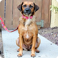 Adopt A Pet :: Brownie - from Costa Rica - Los Angeles, CA