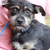 Adopt A Pet :: Splenda - Poughkeepsie, NY