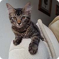 Maine Coon Kitten for adoption in Lodi, California - Shyla