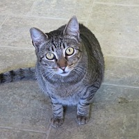 Domestic Shorthair Cat for adoption in Coos Bay, Oregon - Tavie