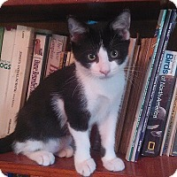 Adopt A Pet :: Oreo - Tampa, FL