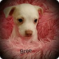 Adopt A Pet :: Bree - San Antonio, TX