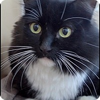 Adopt A Pet :: Abby Tuxedo - Colorado Springs, CO