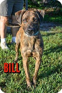 Hound (Unknown Type) Mix Dog for adoption in Sarasota, Florida - Bill