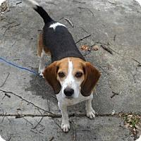 Adopt A Pet :: Luke II - Tampa, FL