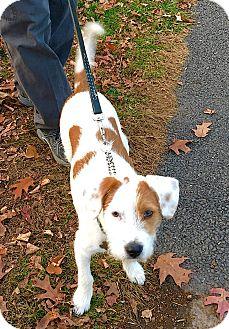 Terrier (Unknown Type, Medium)/Hound (Unknown Type) Mix Puppy for adoption in Linden, New Jersey - Marco