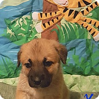 Adopt A Pet :: Sonchez - Burlington, VT
