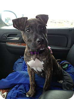 Pit Bull Terrier/American Staffordshire Terrier Mix Puppy for adoption in Glenview, Illinois - Rosie