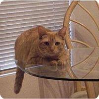 Domestic Shorthair Cat for adoption in Phoenix, Arizona - Rascal