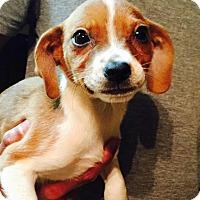 Adopt A Pet :: Blossom - Dumfries, VA