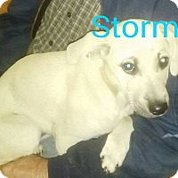 Adopt A Pet :: Stormy - Buffalo, NY
