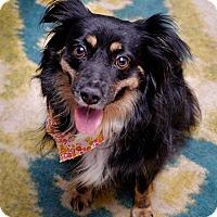 Adopt A Pet :: Chula - MINI AUSSIE - Mesquite, TX