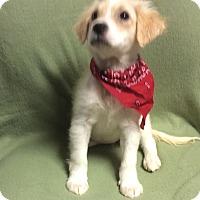 Adopt A Pet :: Darla - Buffalo, NY