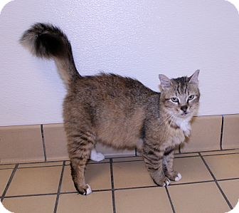 RagaMuffin Cat for adoption in Lumberton, North Carolina - Savannah