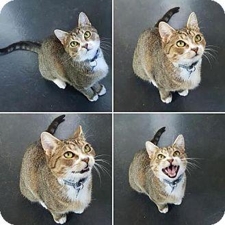 Domestic Shorthair Cat for adoption in Greensboro, North Carolina - Nina