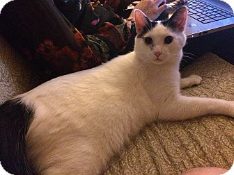 Siamese Cat for adoption in Canton, Ohio - Snowshoe