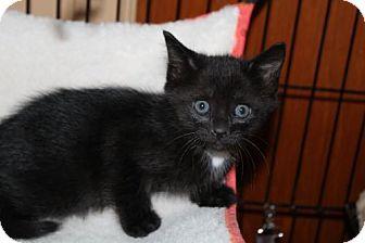 Domestic Shorthair Cat for adoption in Melbourne, Florida - LeAnn H