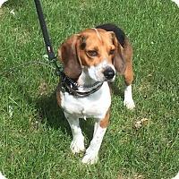 Beagle Dog for adoption in Detroit, Michigan - Eldred aka Jake - Pending!