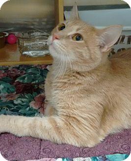 Domestic Shorthair Cat for adoption in Morganton, North Carolina - Tenacious