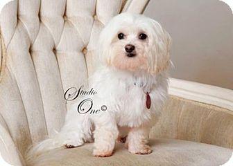 Maltese/Maltese Mix Dog for adoption in Beloit, Wisconsin - OakLee