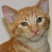 Adopt A Pet :: Chester - Savannah, MO