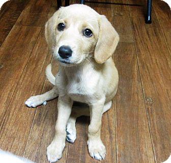 Golden Retriever/Labrador Retriever Mix Puppy for adoption in Carlisle, Pennsylvania - River