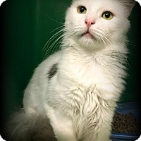 Domestic Mediumhair Cat for adoption in Montclair, New Jersey - Snowball