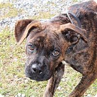 Adopt A Pet :: Bella Bean - Harmony, Glocester, RI