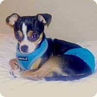 Chihuahua Mix Dog for adoption in Alpharetta, Georgia - Tico