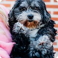 Adopt A Pet :: Velma - Los Angeles, CA