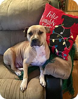 Pit Bull Terrier Mix Dog for adoption in Smithtown, New York - Thankful