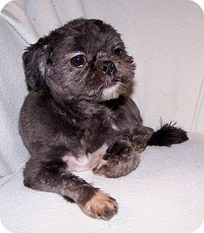 Shih Tzu Dog for adoption in San Angelo, Texas - Sophie