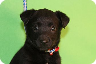Border Collie/Collie Mix Puppy for adoption in Broomfield, Colorado - Dharma