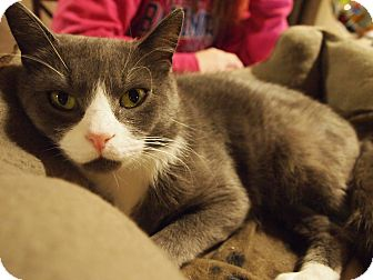 Russian Blue Cat for adoption in Millersville, Maryland - Cassidy