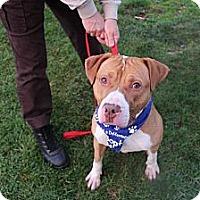 Adopt A Pet :: Courtesy Post: Budwesier - Woodbridge, CT