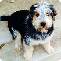 Adopt A Pet :: Curly - Austin, TX