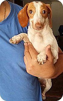 Dachshund Dog for adoption in Dallas, Texas - Toby