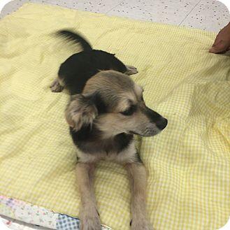 Spaniel (Unknown Type)/Shepherd (Unknown Type) Mix Puppy for adoption in Mesa, Arizona - CAPTAIN 10 WK SPANIEL
