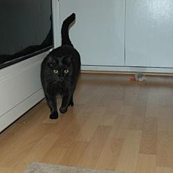 Photo 2 - Domestic Shorthair Cat for adoption in San Jose, California - Susie