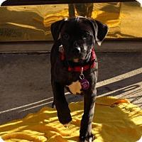 Adopt A Pet :: Cody - Berkeley Heights, NJ