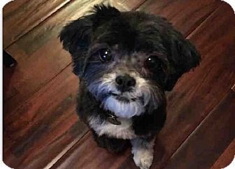 Brussels Griffon/Shih Tzu Mix Dog for adoption in New York, New York - Fizzy!