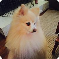 Adopt A Pet :: Crisco - conroe, TX