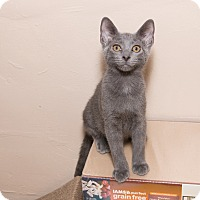 Russian Blue Cat for adoption in Chicago, Illinois - Matt