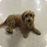 Border Terrier Mix Dog for adoption in Lockhart, Texas - Johnny