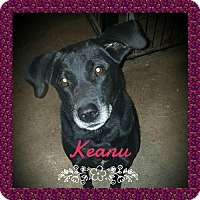 Adopt A Pet :: Keanu - Liberty, MO